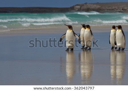King Penguins (Aptenodytes patagonicus) on a sandy beach at Volunteer Point in the Falkland Islands.  - stock photo