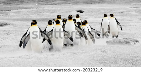King Penguins at Volunteer Point, Falkland Islands - stock photo