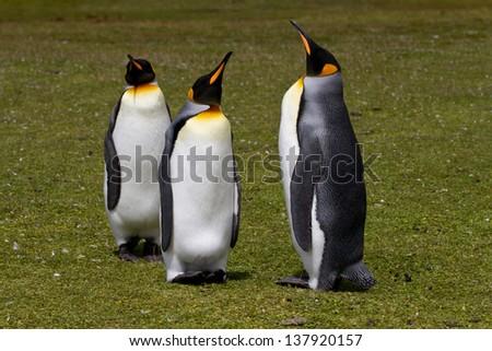 King penguins, Falkland Islands - stock photo