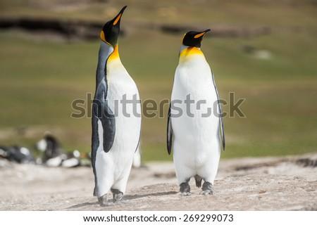 King penguins, Falkland Islands, Antarctica - stock photo
