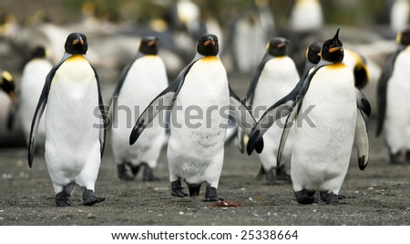 King penguins in sync - stock photo