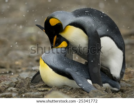 King penguins mating - side view - stock photo