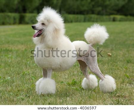 King size white poodle dog portrait - stock photo