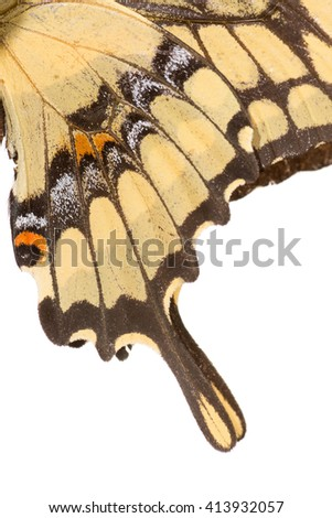 King Swallowtail (Heraclides thoas) butterfly wing tips isolated on a white background. Patagonia, Argentina, South America. - stock photo