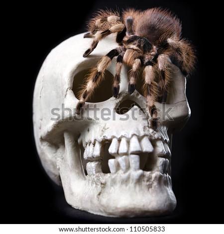King Tarantula. Skull Isolated On black Background. - stock photo