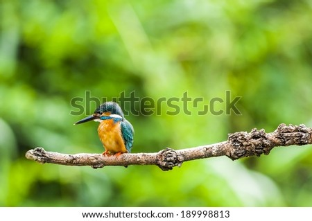Kingfisher - stock photo