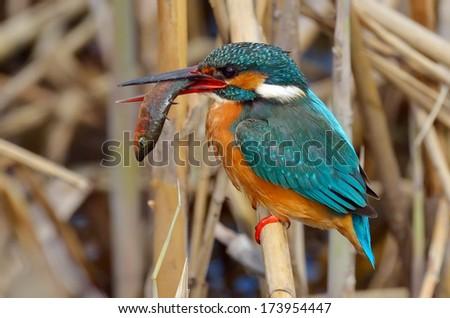 kingfisher (alcedo atthis) in natural habitat - stock photo