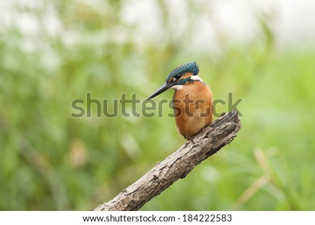 Kingfisher on bench front of nice background - stock photo