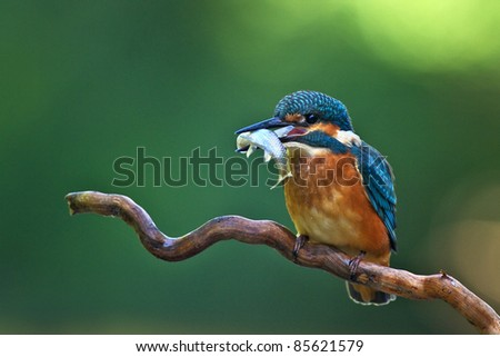 Kingfisher on branch with fish - stock photo