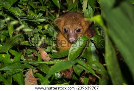 Kinkajou Hiding in the Jungle Bushes in Southern Belize - stock photo