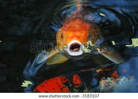 Kio fish in a pond - stock photo