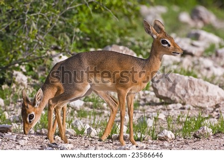 Kirk's(Damara) Dik- Dik male and female; Madoque kirkii; - stock photo