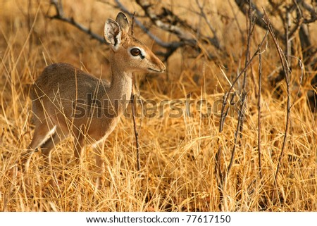 Kirk's dik-dik in the bush of Samburu, Kenya - stock photo