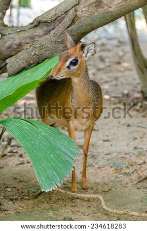 Kirk's Dik-Dik is a small antelope,the characteristic is their mouth and the nose is very long. - stock photo