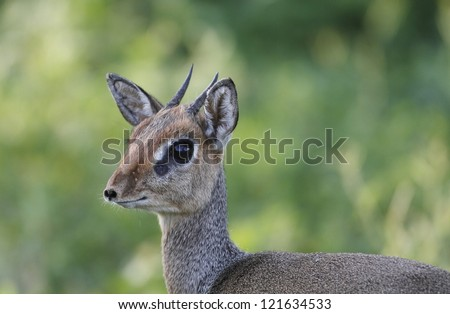 Kirks Dik-Dik - stock photo