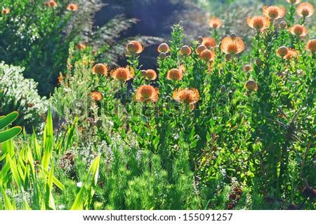 Kirstenbosch botanical gardens, Cape Town, South Africa  - stock photo