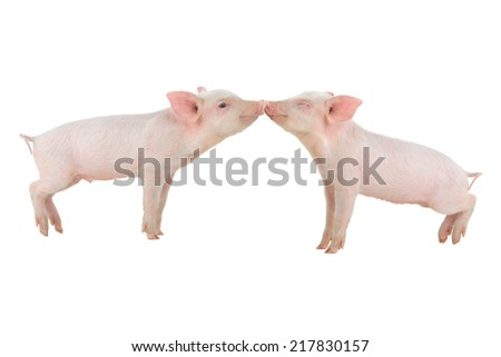 kiss a pig on a white background - stock photo