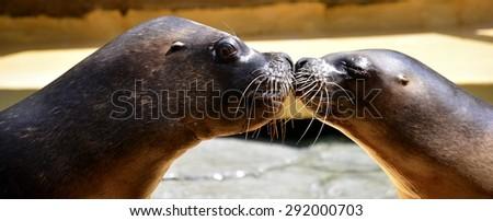 Kiss between sea lions - stock photo
