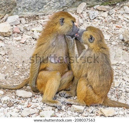 kissing baboons - papio ursinus - stock photo