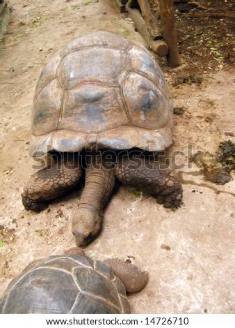 Kissing Turtles - stock photo