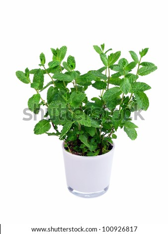 Kitchen herb mint in a pot - isolated - stock photo