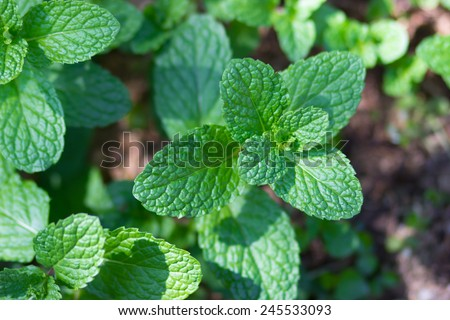 Kitchen Mint, Marsh Mint in vegetable garden - stock photo