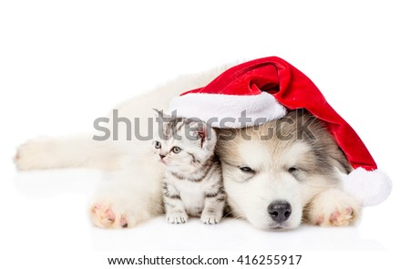 Kitten and alaskan malamute puppy in red santa hat. isolated on white background - stock photo