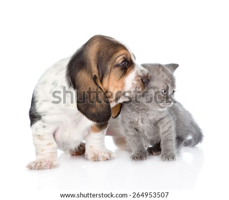 Kitten and basset hound puppy together. isolated on white background - stock photo