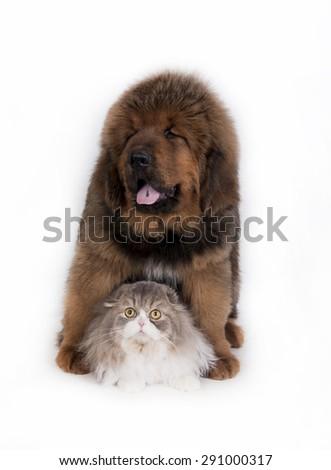Kitten and puppy. Tibetan Mastiff and highland fold - stock photo