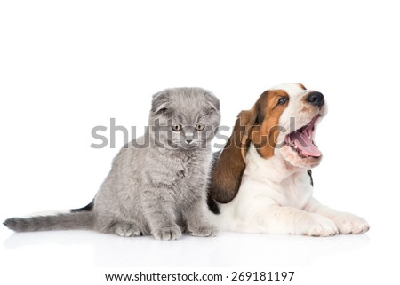 Kitten and yawning basset hound puppy together. isolated on white background - stock photo