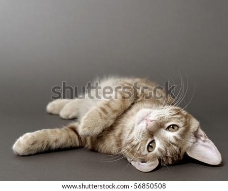 kitten (breed - kurilian bobtail) - stock photo
