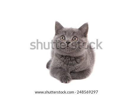 Kitten British blue lying on white background. Two months. - stock photo