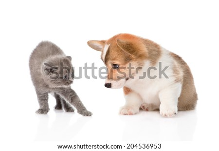 kitten frightened by a dog. Isolated on white background - stock photo