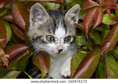 Kitten hiding in autumn leaves - stock photo