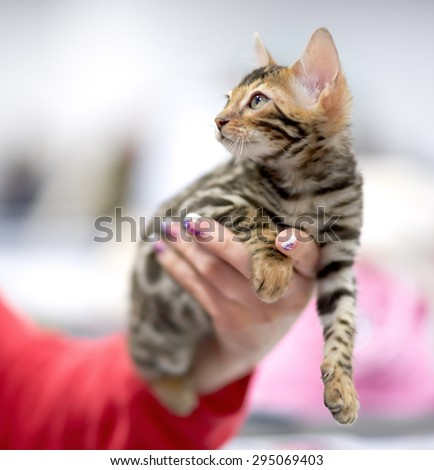 kitten in a female hand looking somewhere up - stock photo