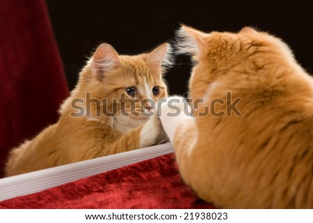 Kitten looking in mirror at it's reflection - stock photo