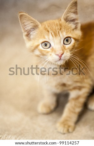 Kitten looking into the camera - stock photo