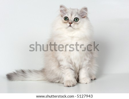 kitten of persian breed with green eyes - stock photo