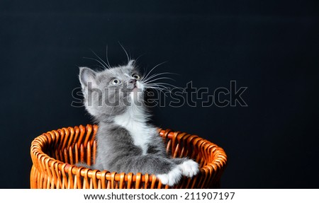 Kitten playing or hiding in a basket and looking up to the ceiling on an isolated black background - stock photo