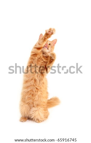 kitten red playful isolated on white background - stock photo