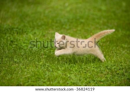 Kitten running through the grass and playing - stock photo