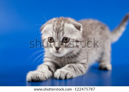 Kitten scottish fold breed on blue - stock photo