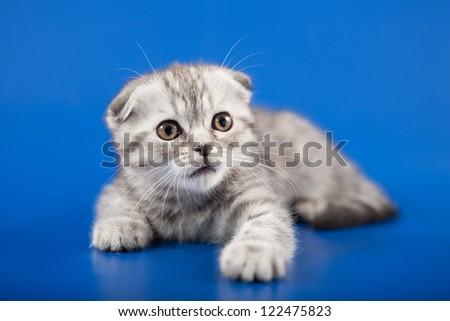Kitten scottish fold breed on blue - stock photo