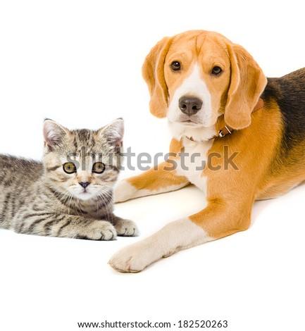Kitten Scottish Straight and beagle dog - stock photo
