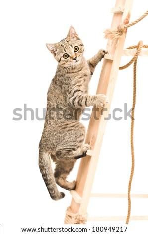 Kitten Scottish Straight climbing the wooden stairs - stock photo