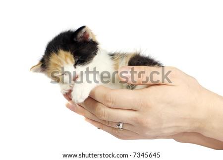 kitten sleeping in girl's hands isolated on white - stock photo