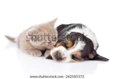 kitten sniffing sleeping puppy. isolated on white background - stock photo
