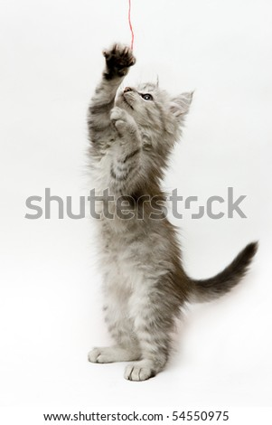 Kitten standing on hind legs playing with a strap - stock photo