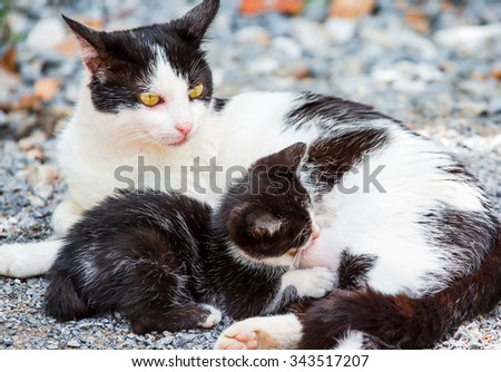 Kitten suck mother cat's breast for milk feeding - stock photo