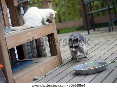 Kitten watching as raccoon moves in to steal food. Shows wildlife and pet interaction - stock photo